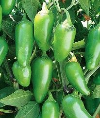 Jalapeno Pepper Plant