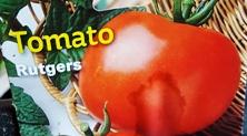 Rutgers Tomato Plant