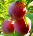 American Red Plum Tree